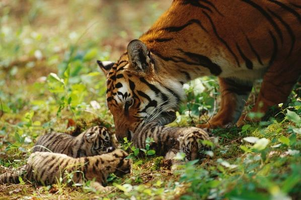 Bengal Tiger mother licking cubs | Animals, Habitats, and Ecosystems