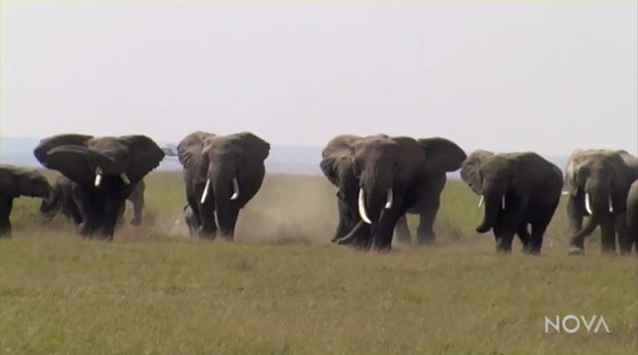 Elephant Stranger Danger