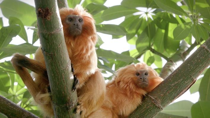 Paws for a Minute | Golden Lion Tamarin