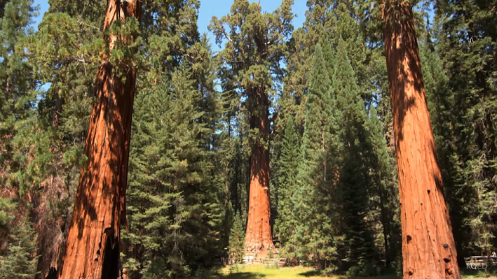 Giant Sequoias Struggle with Drought