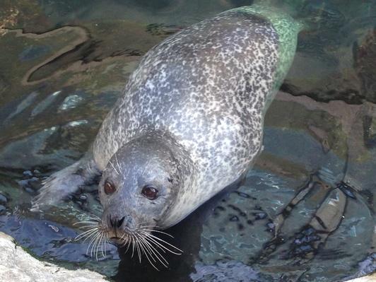 Harbour seal at New England Aquarium