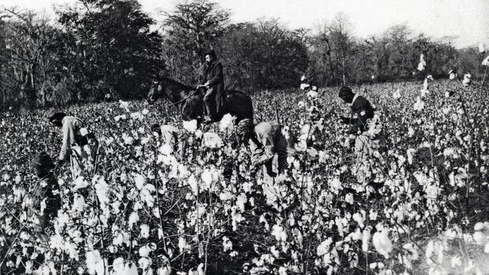 Picking Cotton in Fields