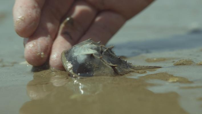 Horseshoe Crabs | Big Pacific: Mysterious