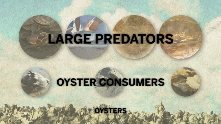 How Fear Rules the Oyster Reef | In the Grass, On the Reef