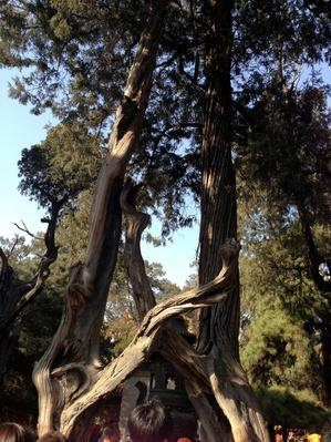 The Forbidden City Interlocked Cypresses