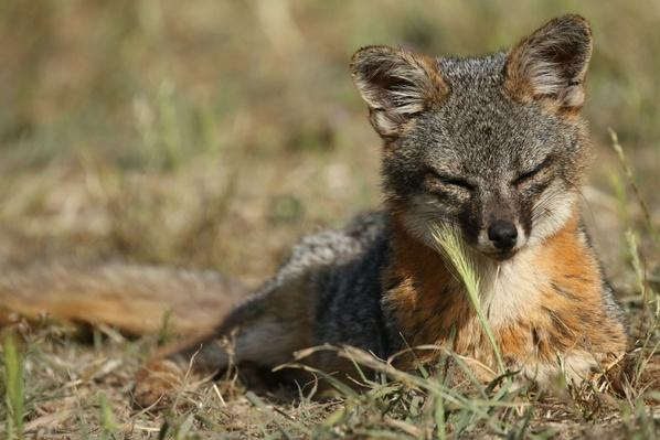 The Comeback Kits: Saving California's Island Foxes
