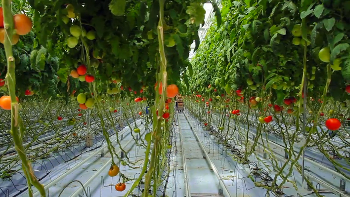 The Industrial Tomato: Video | Nature Works Everywhere