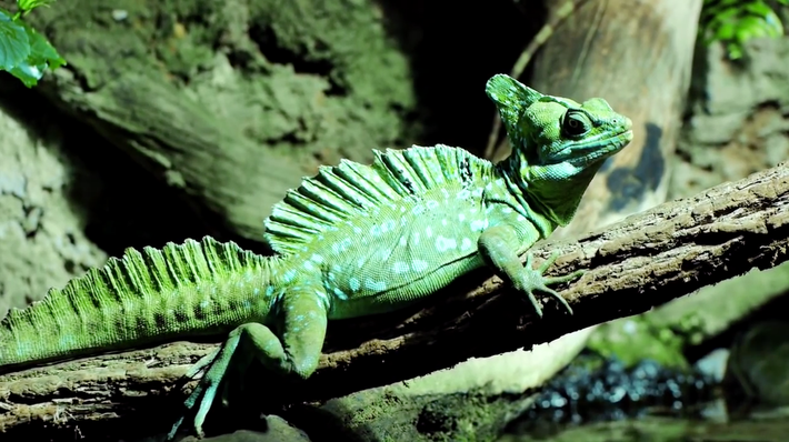 Jesus Christ Lizard | Songs for Unusual Creatures | PBS Digital Studios