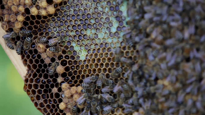 Can Mushrooms Help Save the Honeybee?
