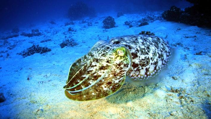 The Amazing Cuttlefish | Life on the Reef