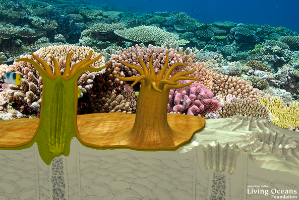 Coral Interactive | Living Oceans