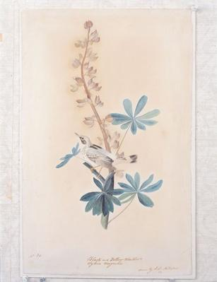 A watercolor and graphite drawing of a magnolia warbler from 1809 by artist John James Audubon.