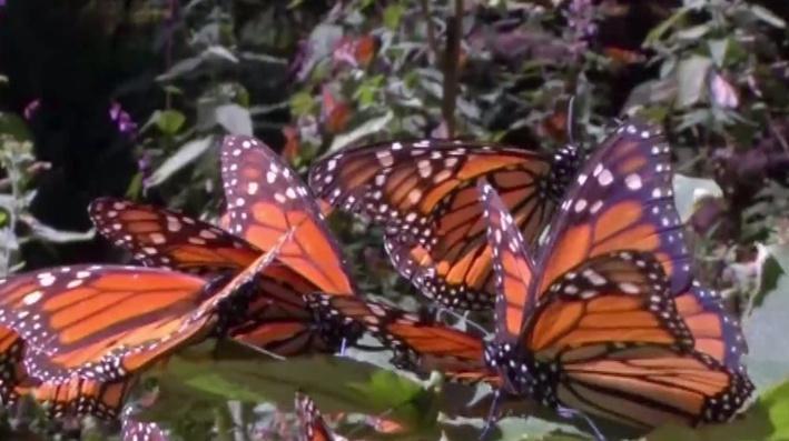 Monarch Butterflies Could Make Endangered Species List - Video