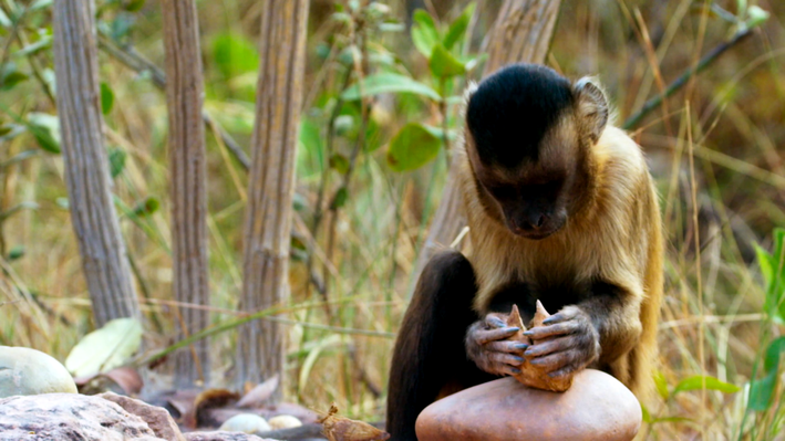 Learned Behavior in Capuchin Monkeys