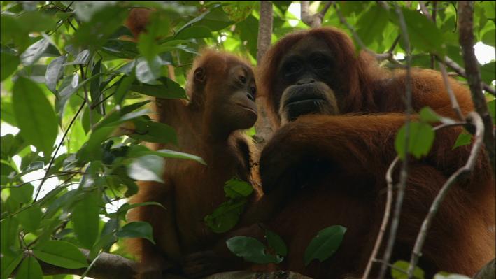 Orangutans: Mother Knows Best