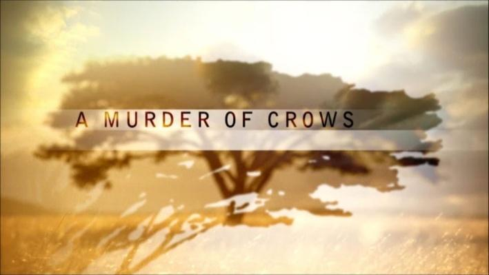 Nature: A Murder of Crows | The Remarkable Crow