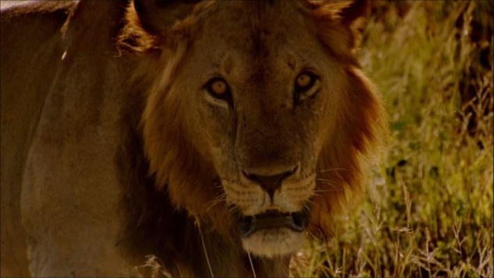 Nature: Elsa's Legacy | Seeing Lions Differently