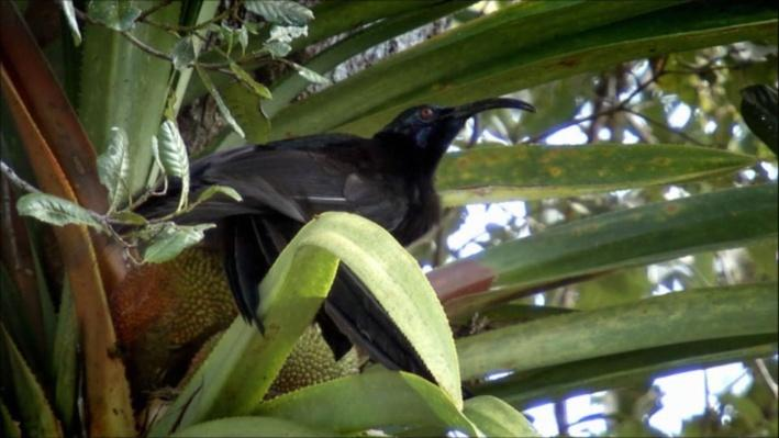 Nature: Birds of the Gods | The Black Sicklebill Bird of Paradise