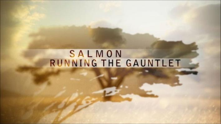 Nature: Salmon   The Salmon Problem
