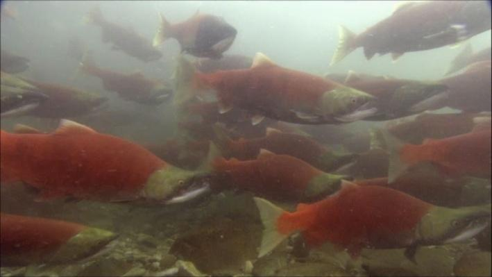 Nature: Salmon | The Trouble With Hatchery-Produced Salmon