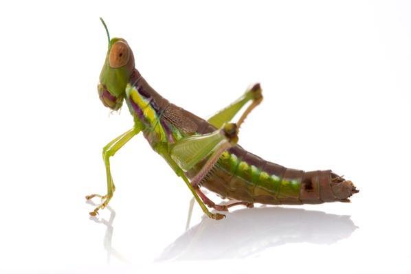 Euschmidtia Grasshopper