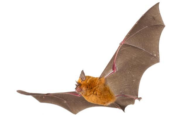 Horseshoe Bat in Flight