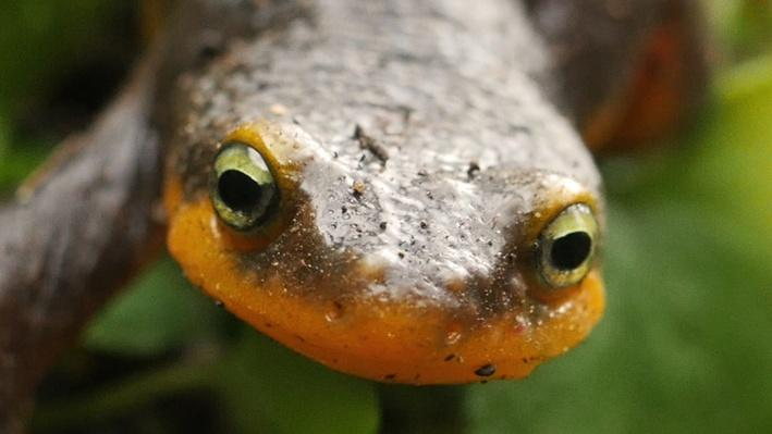 Mating Habits of Newts | Deep Look