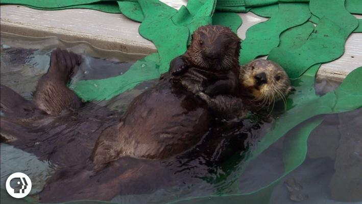 A Sea Otter's Adorable Adoption Story | It's Okay to Be Smart
