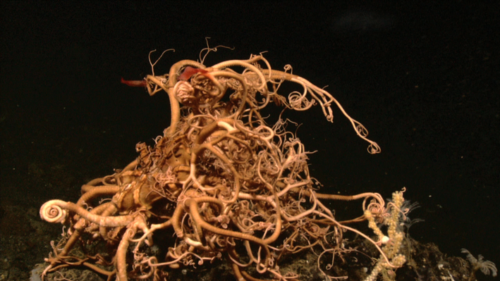 Basket Star | Ocean Today