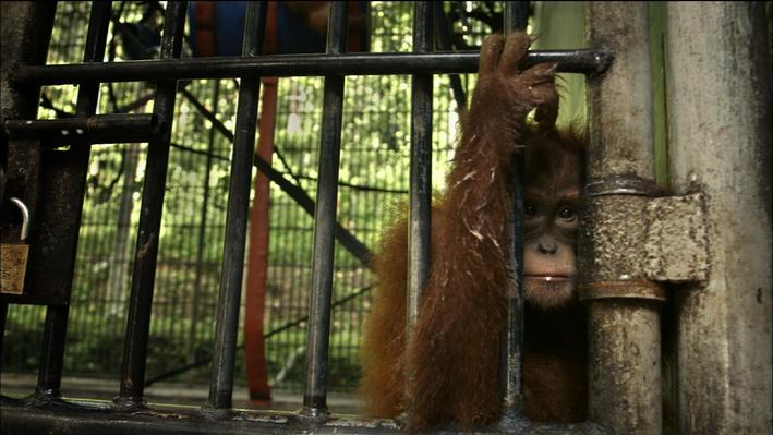 Orangutans Refugees