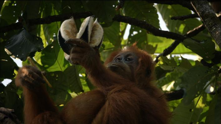 Orangutans: Tool Use