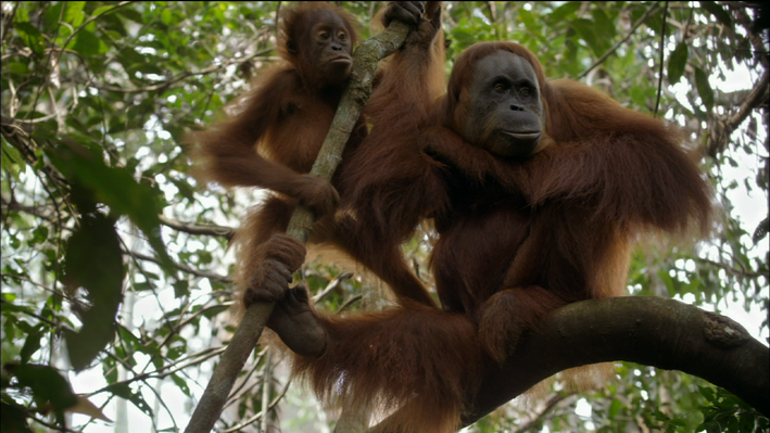 Orangutans in the Wild