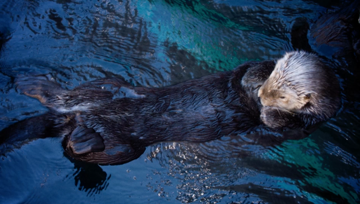 The Fantastic Fur of Sea Otters