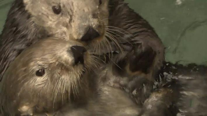 Sea Otters versus Climate Change