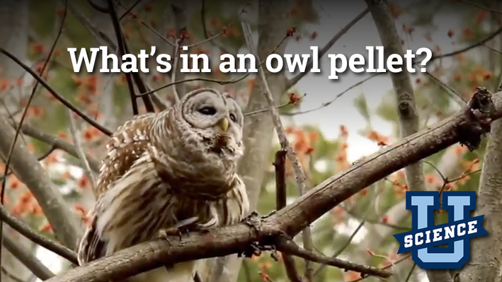 What's in an Owl Pellet? | Science-U