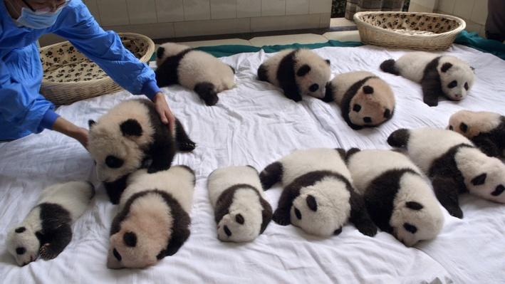 Saving Giant Pandas | Operation Wild