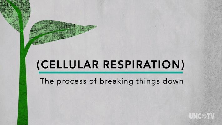 Plant Respiration animation video