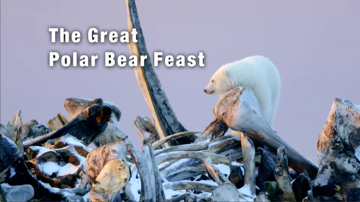 Polar Bears Gather for the Feast | The Great Polar Bear Feast
