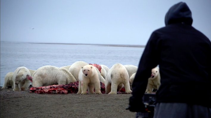 The Kaktovic Butcher a Whale | The Great Polar Bear Feast