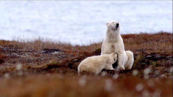 A New Social Dynamic | The Great Polar Bear Feast