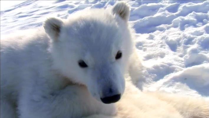 Tracking Polar Bears | The Great Polar Bear Feast