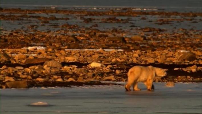 Saving A Species: Polar Bears