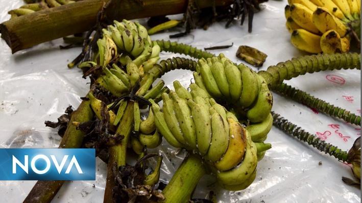 NOVA Next | Can the Banana Be Saved?