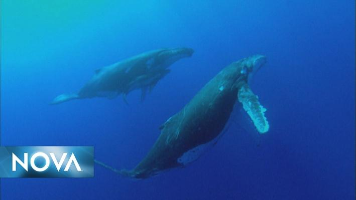 Whale Songs | NOVA Wonders: What Are Animals Saying?