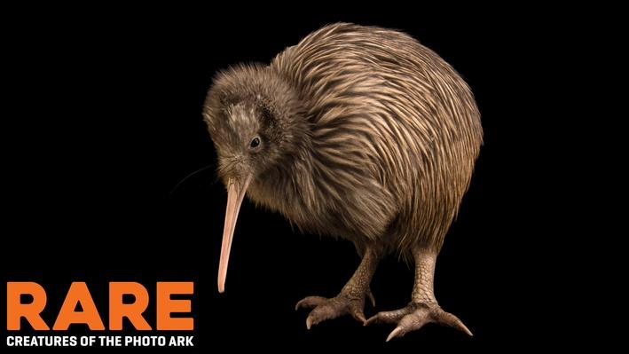 RARE: Conserving New Zealand's Rarest Kiwi Species