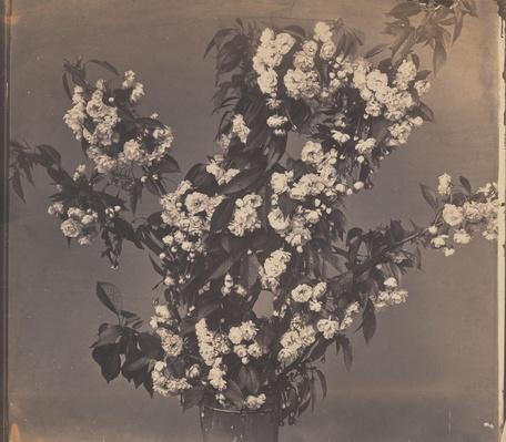Fruit Tree Blossoms,from Fleurs Photographi�es series (Photographs of Flowers) / RISD STEAM