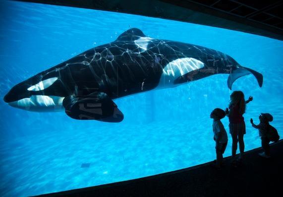 SeaWorld Announces End to Killer Whale Breeding Video