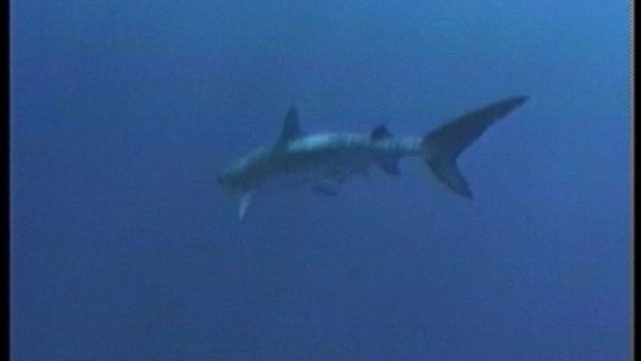 Scientific American Frontiers: Creatures of the Deep | Tiger Shark Tracking