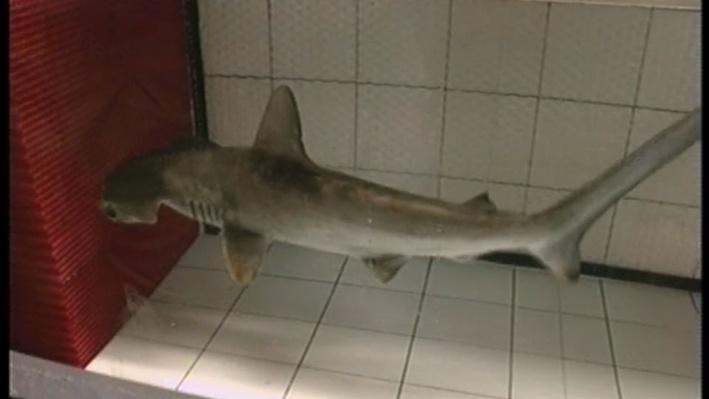 Scientific American Frontiers: Creatures of the Deep | Hammerhead Sharks