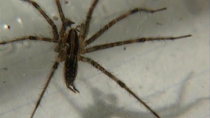 Scientific American Frontiers: Spiders | Hybrid Spiders